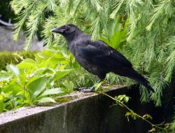crow, raven, bird, black, fly, carrion crow, raven bird