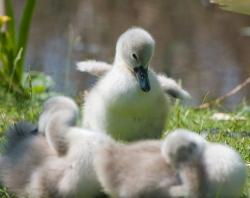 cygnet, baby, animal, bird, swan, young, wild, wildlife