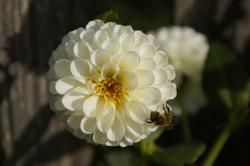 dahlia, flower, white, insect, bee, autumn