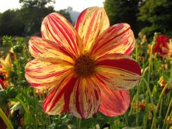 dahlia, orange, red, autumn, garden, nature, flower