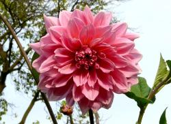 dahlia, plant, flower, double flower, noble, red, pink
