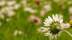 daisies, meadow, plant