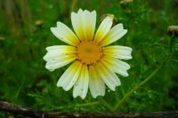 daisy, field, rain, drops, yellow, la atalaya, flower