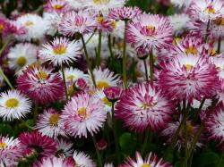 daisy, flower, bellis philosophy, multiannual daisy