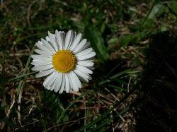 daisy, plant, flower, flowers, white