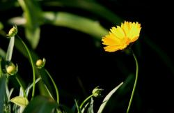 daisy, yellow, flower, stem, long, garden