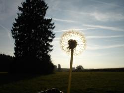 dandelion, back light, flower, nature, sun