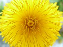 dandelion, flower, plant, bloom, pointed flower, close