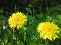 dandelion, flower, yellow, nature