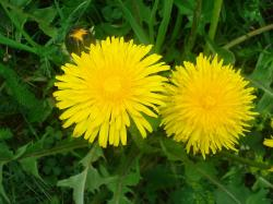 dandelion, flowers, flower, summer, plant, yellow