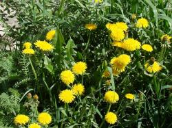 dandelions, yellow, flowers, sun, summer, grass, green