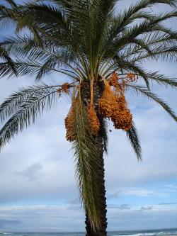 date palm, palm, dates, phoenix dactylifera, fruits