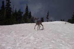 deer, snow, wildlife, animals, outdoors