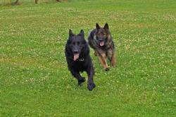dog, dogs, old german, schäfer dog, hunt, race, play