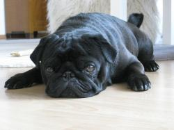 dog, pet, pug, black, lying, ground, rest, tired