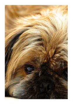 dog, shih cricket, pet, cute, shih tzu, pets, puppies