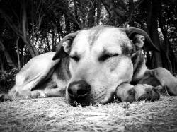 dog, sleeping, siesta, sleep, animals, rest, naps, pet