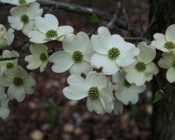 dogwood, white, spring, flowers