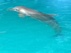 dolphin, pool, dominican, republic, exotic, country