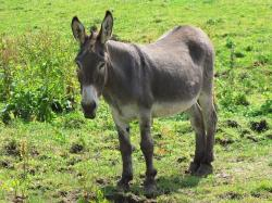 donkey, jackass, horse, horses, meadow, grass, green