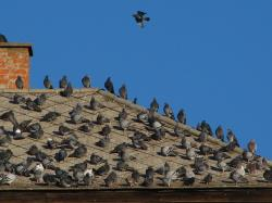 doves, birds, rooftop, pigeon, bird