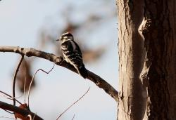 downy woodpecker, bird, male, picoides pubescens, fly