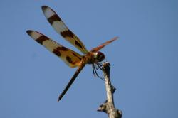 dragon, fly, insect, dragon fly, wings, large, blue
