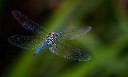 dragonfly, fly, bokeh, background, blurred, blue, wings
