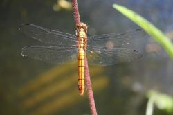 dragonfly, insect, animal, stick