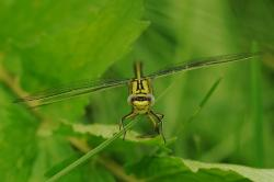 dragonfly, insect, animal, yellow dragonfly, close