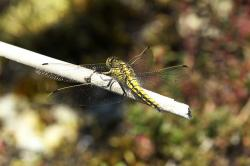 dragonfly, insect, nature, source virgin, two striped