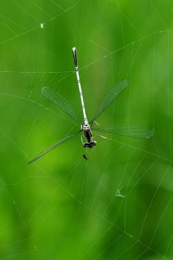 dragonfly, macro, caught, cobweb, prey, insect, water