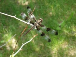 dragonfly, nature, spring, summer, insect, sun, twig