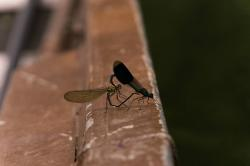 dragonfly, pairing, nature, couple, pets