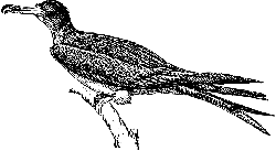 drawing, bird, frigate, animal, feathers, perched