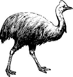 drawing, bird, long, walking, neck, feathers, cassowary