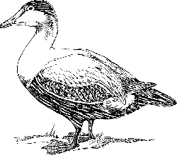drawing, elder, bird, duck, wings, standing, tail