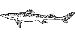 drawing, fish, scales, tail, fins, dogfish, scale
