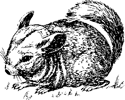 drawing, grass, animal, tail, the, chinchilla, furry