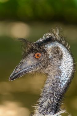 dromaius novaehollandiae, emu brown, portrait, close-up
