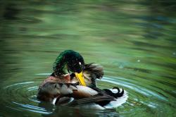 duck, drake, water, bird, animal world, clean, plumage