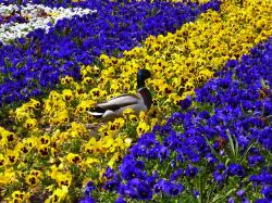 duck, flower bed, pansy, run, spring