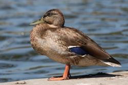 duck, mallard, bird, water, nature