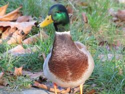 duck, mallard duck, wild ducks, bird