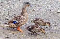 duckling, duck, animals, small, baby, water, close-up