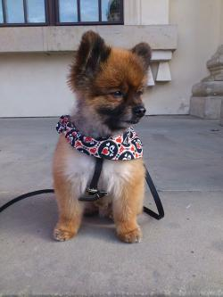 dwarf spitz, pomeranian, dog, small dog, pet, playful