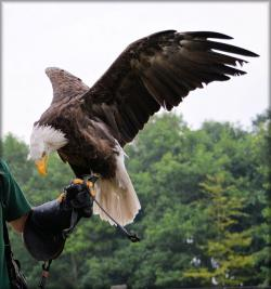 eagle, raptors, show, animal