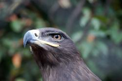 eagle, steppe, animal, bird, predator, fly, wing, beak