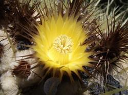 echinocactus, grusonil, plant, plants, flower, flowers
