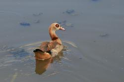 egyptian goose, goose, pond, water, brown